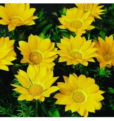 Газания Gazoo F1 Clear Yellow 5 шт семян