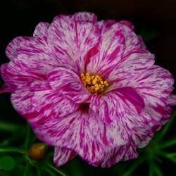 Портулак Happy Hour Peppermint 10 шт семян