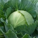 Капуста белокочанная среднепоздняя Тош F1 10 шт семян
