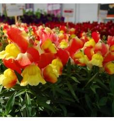Львиный зев карликовый Floral Showers Red & Yellow 10 шт семян