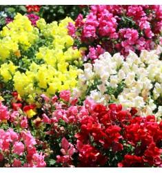 Львиный зев карликовый Floral Showers Mix 10 шт семян