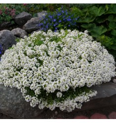 Алиссум Aphrodite Silver 10 шт семян