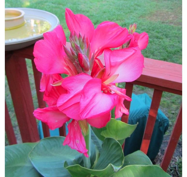 Канна Tropical Rose 3 шт семян