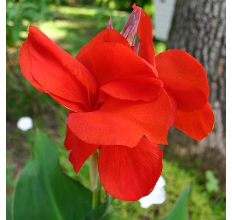 Канна Tropical Red 3 шт семян