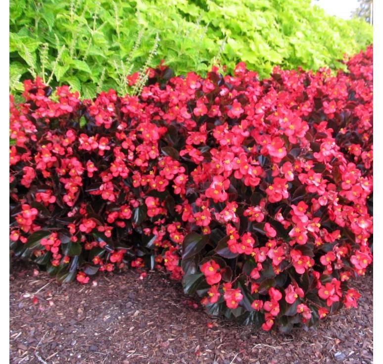 Бегония Megawatt Rose Bronze Leaf 3 шт драже