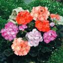 Пеларгония зональная Black Velvet Mix 5 шт семян