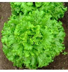 Салат Гейзер 100 штук семян