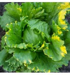 Салат кочанный Патриций 100 штук семян