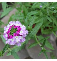 Вербена ампельная Obsession Cascade Twister Violet 5 шт семян