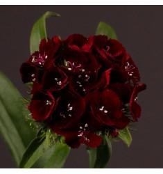 Гвоздика турецкая Sweet Black Cherry 5 шт семян