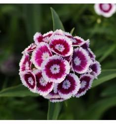 Гвоздика турецкая Sweet Purple White Bicolor 5 шт семян