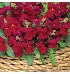 Львиный зев карликовый Snapshot Burgundy 10 шт семян