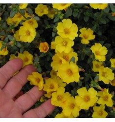 Черенки ампельного портулака Pazzaz Vivid Yellow 1 шт