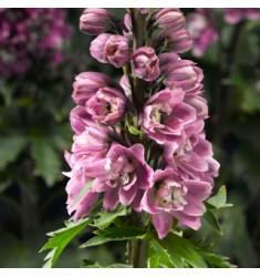 Дельфиниум Delphina Rose White Bee 3 шт семян