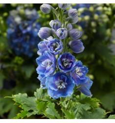 Дельфиниум Delphina Light Blue White Bee 3 шт семян
