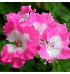 Пеларгония королевская Bermuda Pink 1 шт