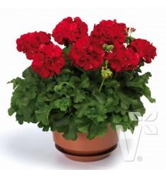 Пеларгония межвидовая Calliope Dark Red 1 шт