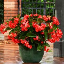 Бегония Megawatt Red Green Leaf 3 шт семян