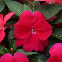 Бальзамин Новогвинейский F1 Divine Lipstick 5 штук семян