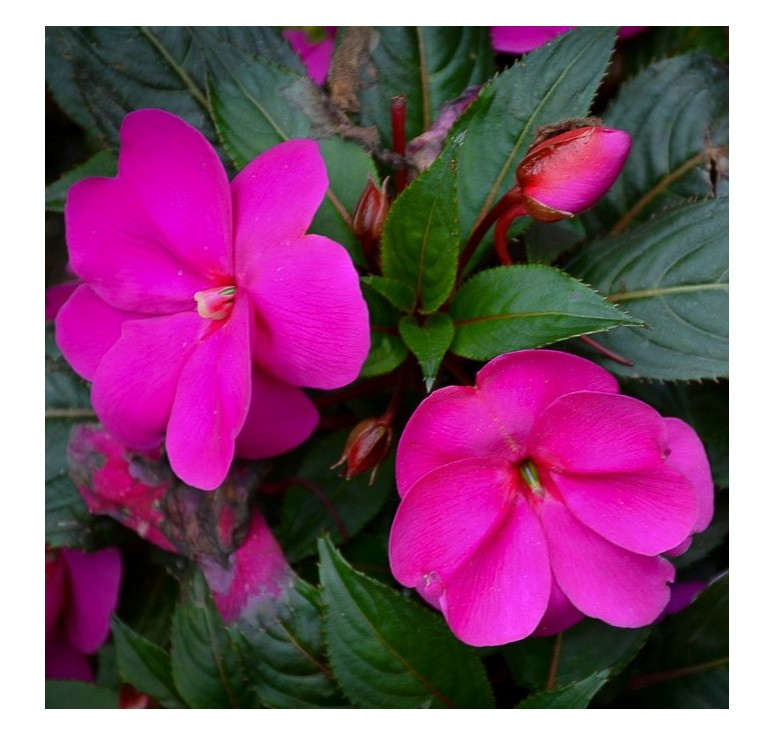 Бальзамин Новогвинейский F1 F1 Divine Orchid 5 штук семян