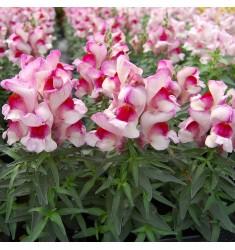 Антирринум Snappy Orchid 10 шт семян