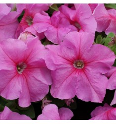 Петуния крупноцветковая Limbo Pink 10 шт драже
