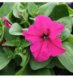 Петуния крупноцветковая Limbo Rose 10 шт драже