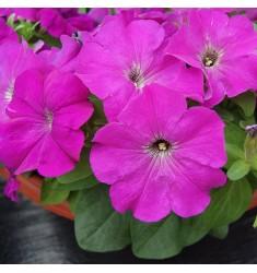 Петуния крупноцветковая Limbo Violet 10 шт драже