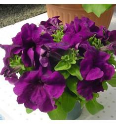 Петуния крупноцветковая Limbo Deep Purple 10 шт драже