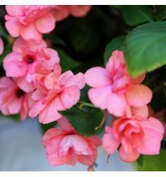 Бальзамин Athena Coral Pink 5 шт семян