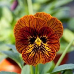 Виола Tiger Eye Red 5 шт семян