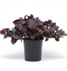 Альтернантера Purple Prince 3 шт семян