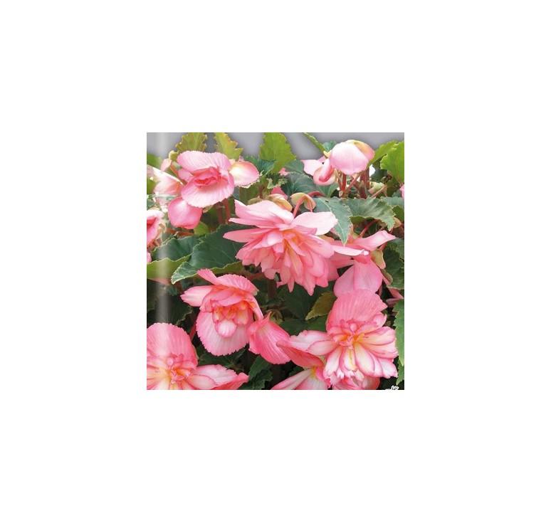 Бегония Шансон Розовая 5 шт драже