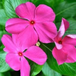 Катарантус Cora Violet 5 шт семян