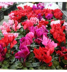 Цикламен персидский, крупноцветковый, смесь 10 шт семян