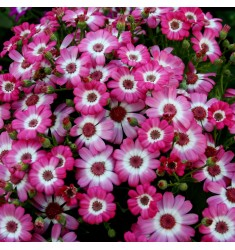 Цинерария  Jester Royal Bicolor Shades 5 шт семян