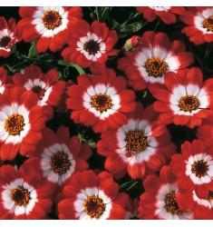 Цинерария Jester Scarlet Bicolor 5 шт семян