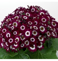 Цинерария Jester Carmine Bicolor 5 шт семян