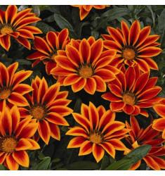 Газания Big Kiss F1 Orange Flame 5 шт семян