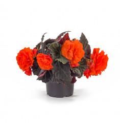 Черенки бегонии Fragrant Falls Orange 1 штука