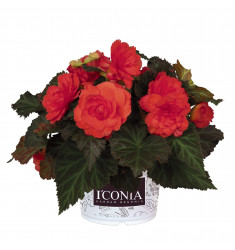 Черенки бегонии I'Conia Portofino Coral 1 штука