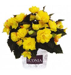 Черенки бегонии I'Conia Portofino Yellow 1 штука