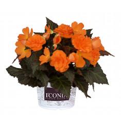 Черенки бегонии I'Conia Portofino Orange 1 штука