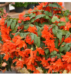 Черенки бегонии Belleconia Hot Orange 1 штука