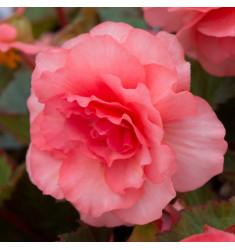 Черенки бегонии Sweet Spice English Rose 1 штука