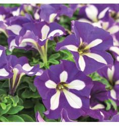 Черенки петунии Crazytunia Lucky Lilac 1 штука
