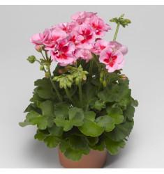 Пеларгония межвидовая Calliope Rose Splash 1 шт