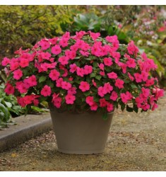 Бальзамин Уоллера Impreza Rose 5 шт семян