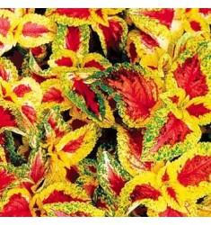 Колеус Wizard Pastel 10 шт семян