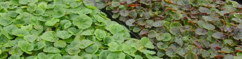 Вегетативный материал